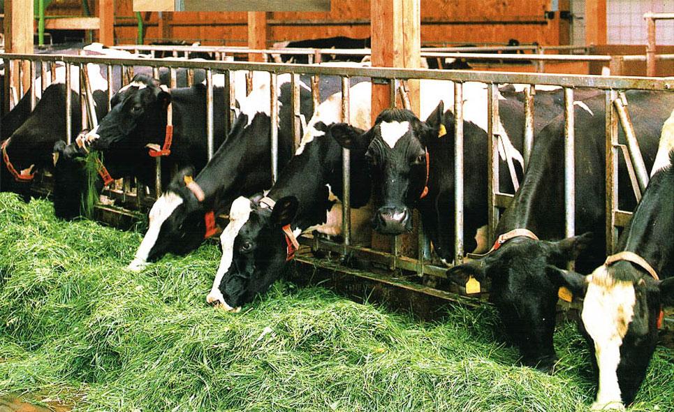 Курсовая по скотоводству технология выращивания ремонтного молодняка 64